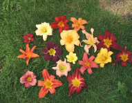 Daylilies.  Tons of colours and sizes to choose from.  Evelyn Wolf, Garden Consultant