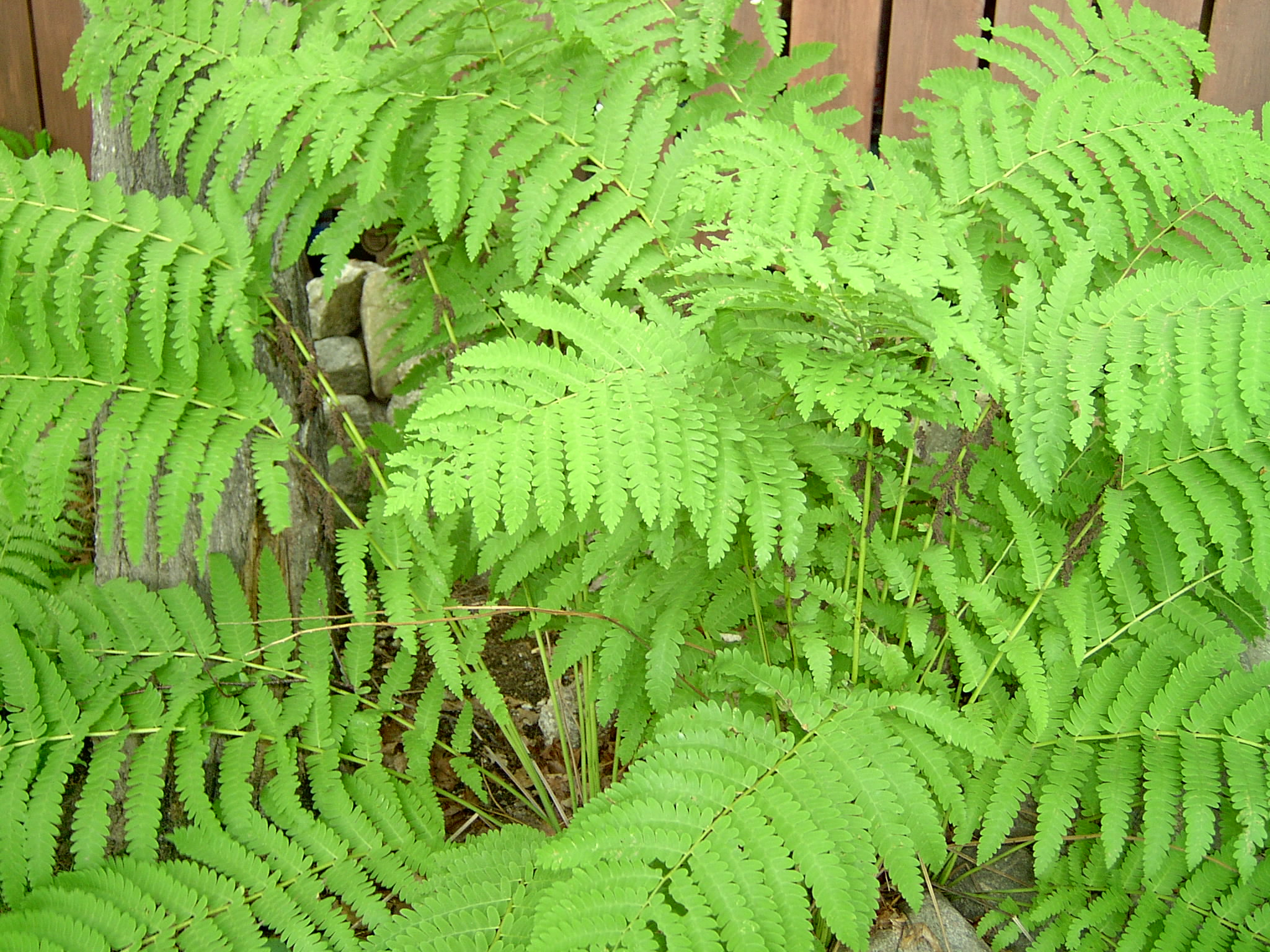 Native Fern in a Haliburton cottage garden.