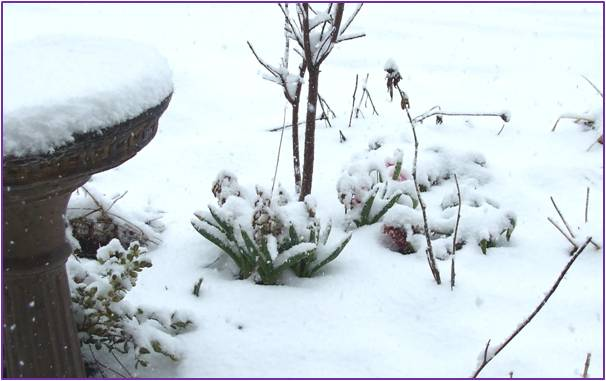 Hyacinth covered with snow.